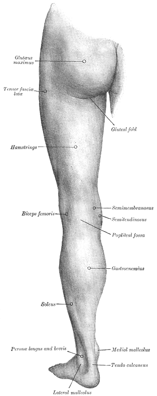 The back of the left thigh of a human, with major muscle groups indicated, including the tensor fasciae latae close to the hip bone