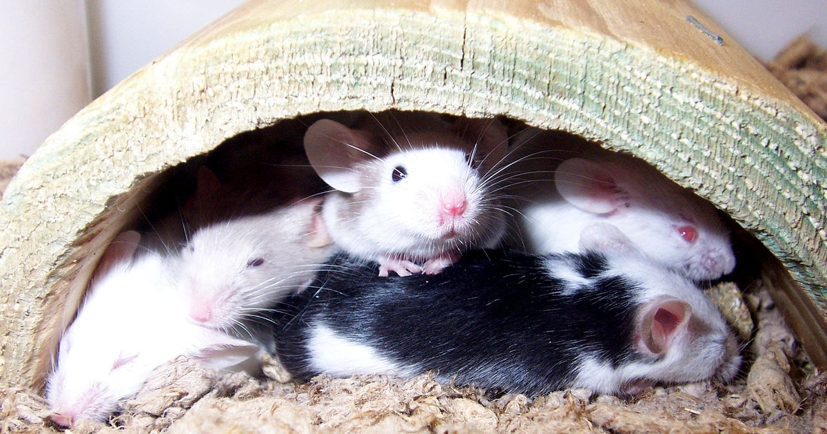 """Without synaptic """"nibbling,"""" mice develop behavioral problems"""