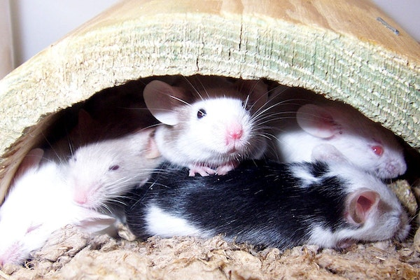 Black and white mice crowded together