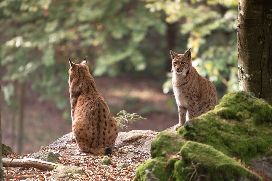 two bobcats sitting on a rock