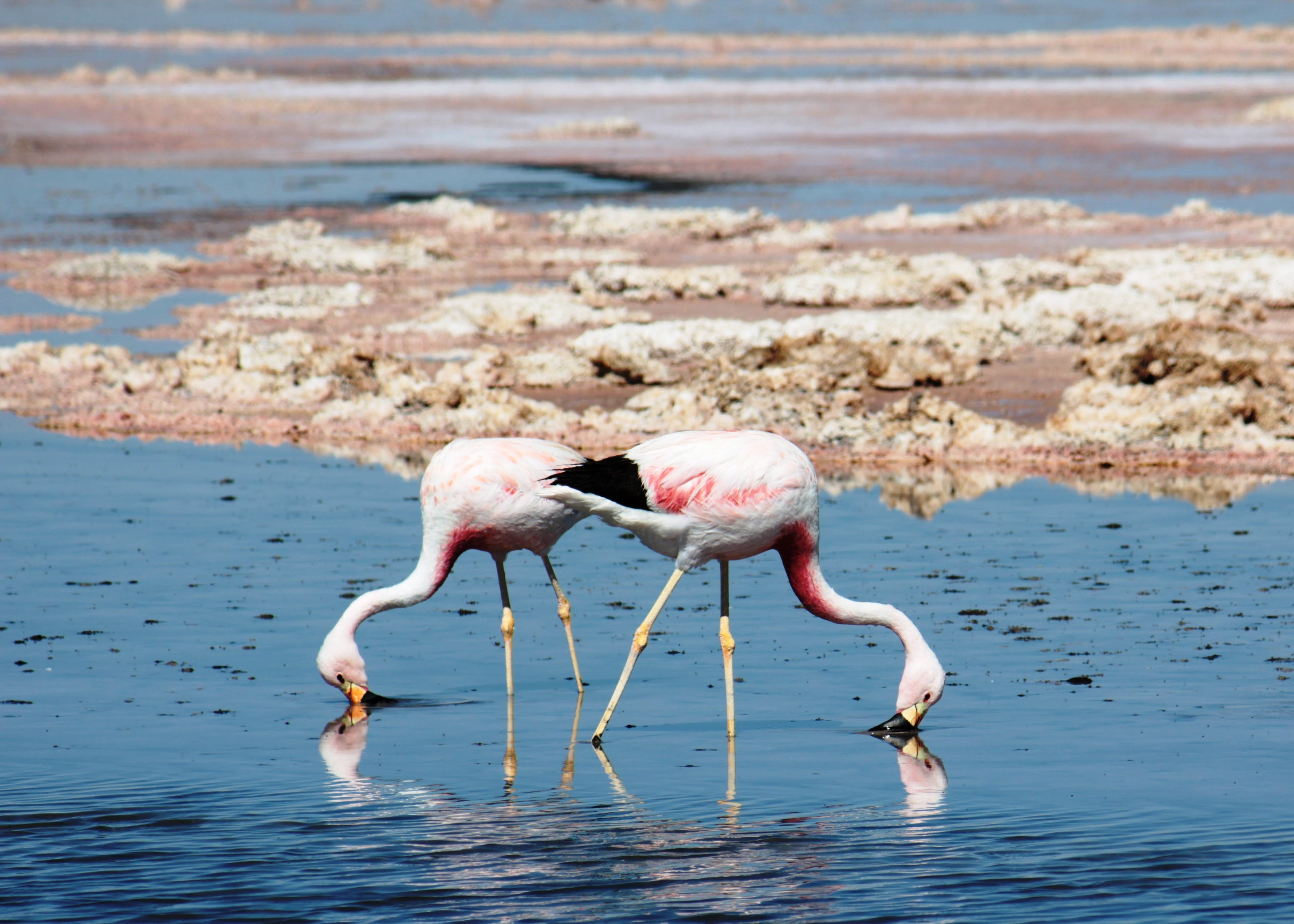 Two flamingos drink from a pool of water in the Atacama Desert.