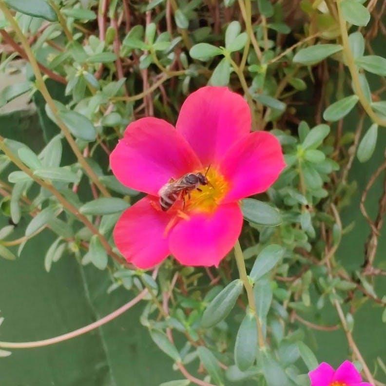 Apis florea