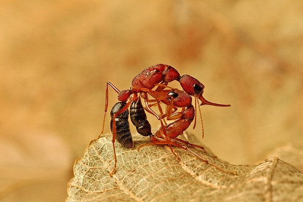 two red ants with black butts fighting on a leaf