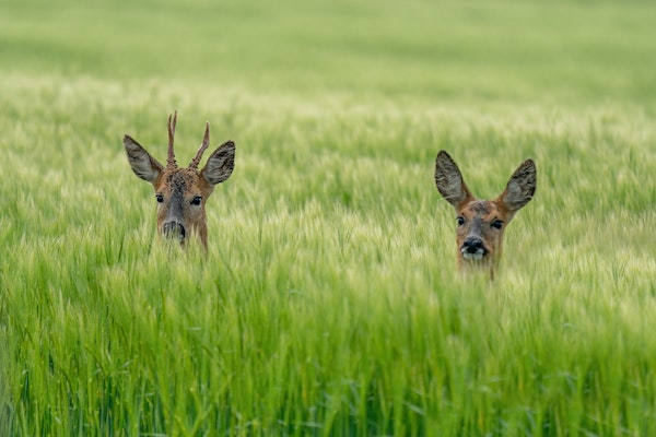 a pair of roe deer popping their heads up from a field