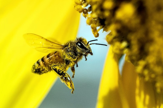 honeybee covered in pollen with a yellow flower