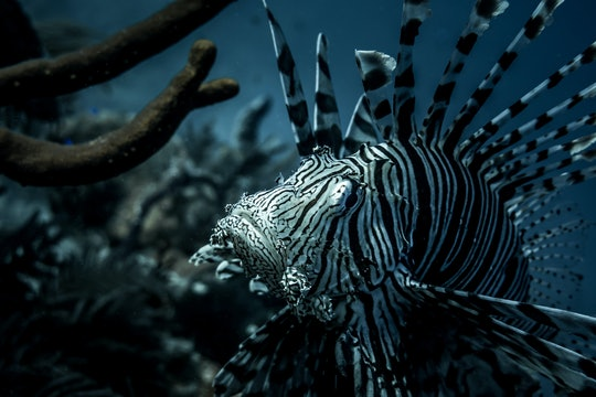 Close up image of a lionfish