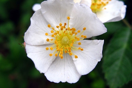 a white rose with yellow stamens