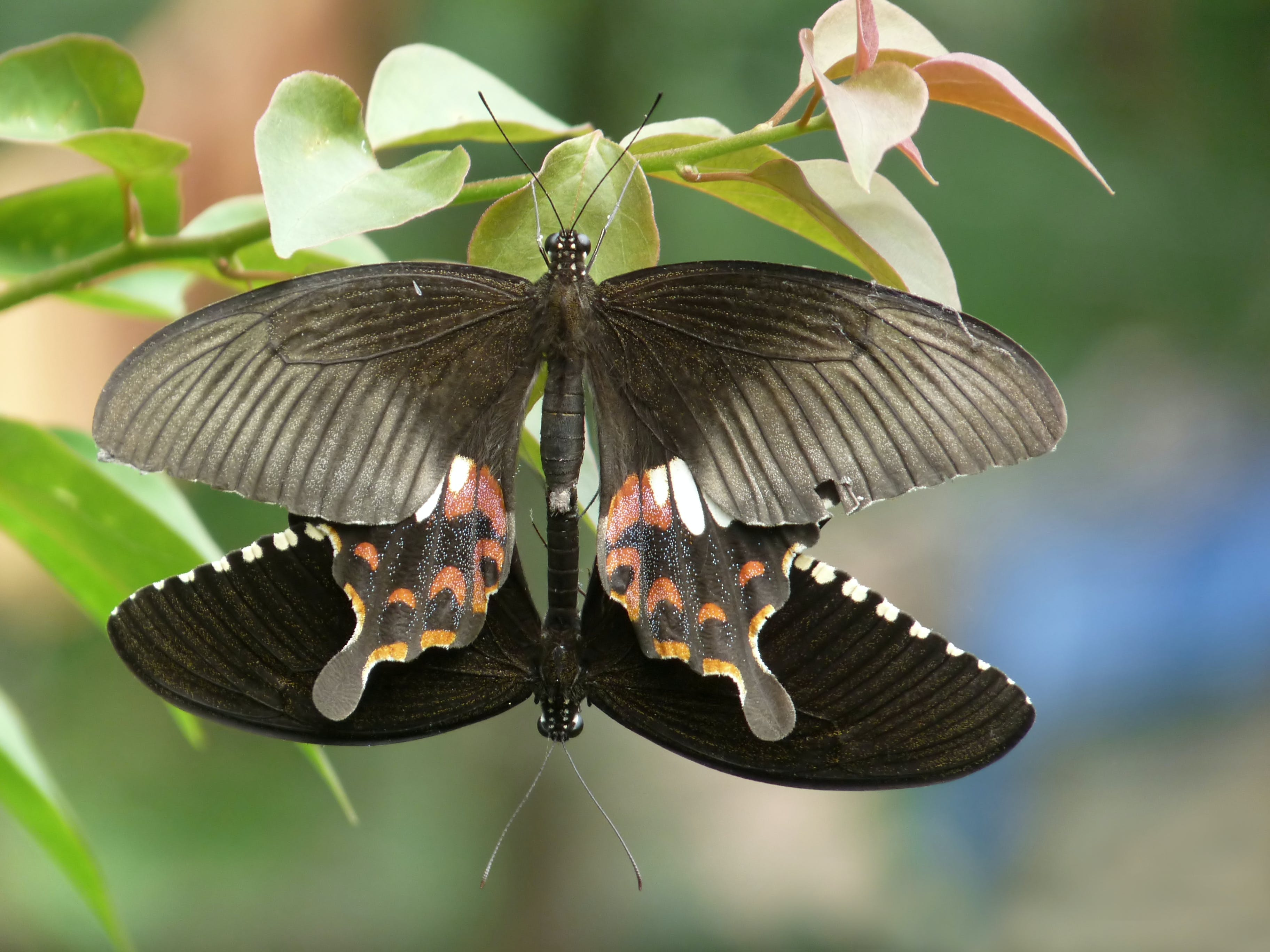 A pair of Papilio polytes mating in Kadavoor