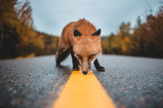 a fox on a road