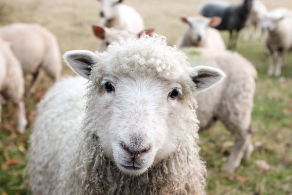 A very cute white sheep staring at the camera with other sheep in the background