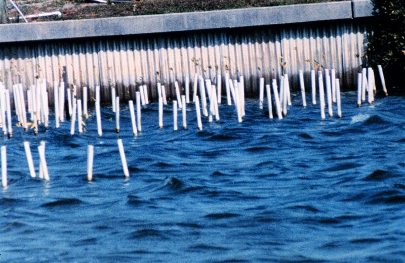 A group of mangrove seedlings are protected by PVC pipes at a marina in Florida.