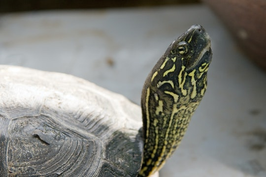 Reeve's turtle looking up