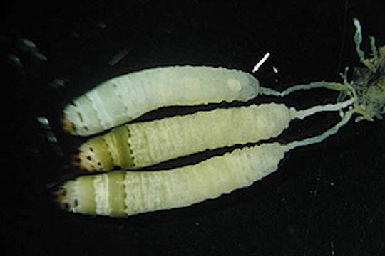 3 Leucochloridium Paradoxum (parasitic flatworm)