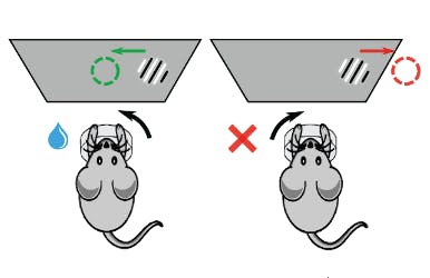 a diagram of a mouse making a decision to turn a wheel
