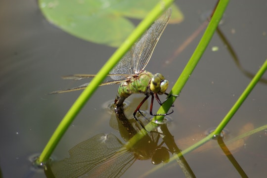 Green dragonfly in pond water