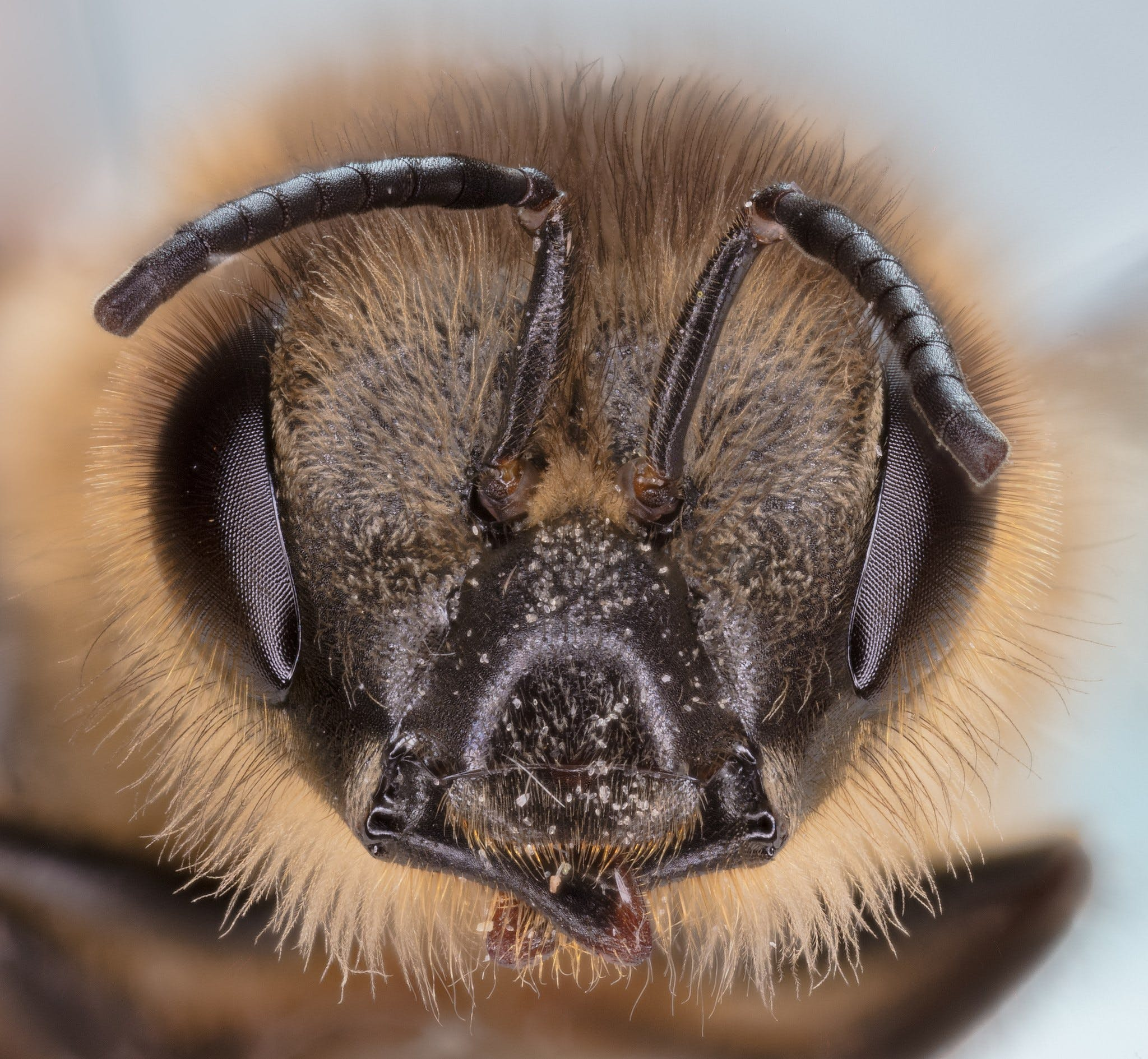The head of a plasterer bee, a short-tongued bee