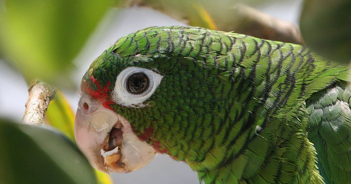 """A captive breeding program taught Puerto Rican parrots to """"speak"""" differently"""