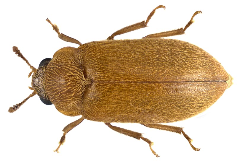 a detailed photograph of a brown beetle against a white background
