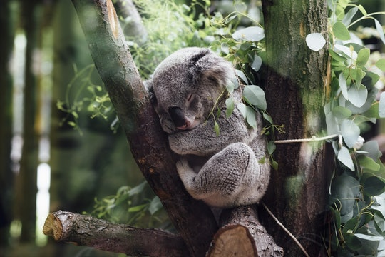 A photo of a koala asleep in a tree.