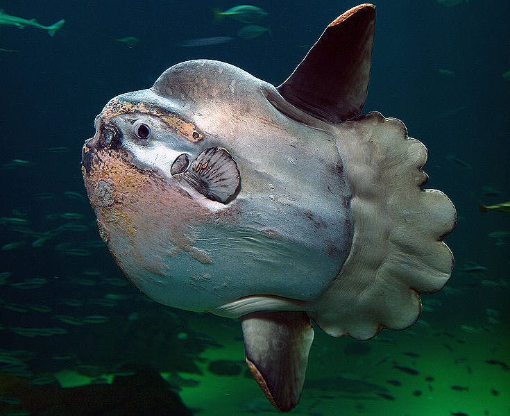 a large fish with a very small tail called an ocean sunfish