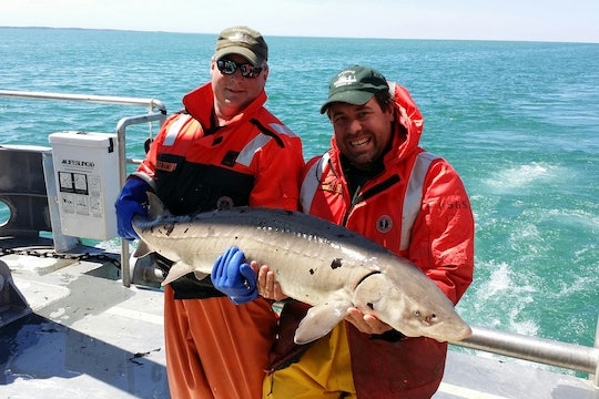 Two United States Geological Survey (USGS) scientists holding  an adult lake sturgeon caught in Lake Ontario