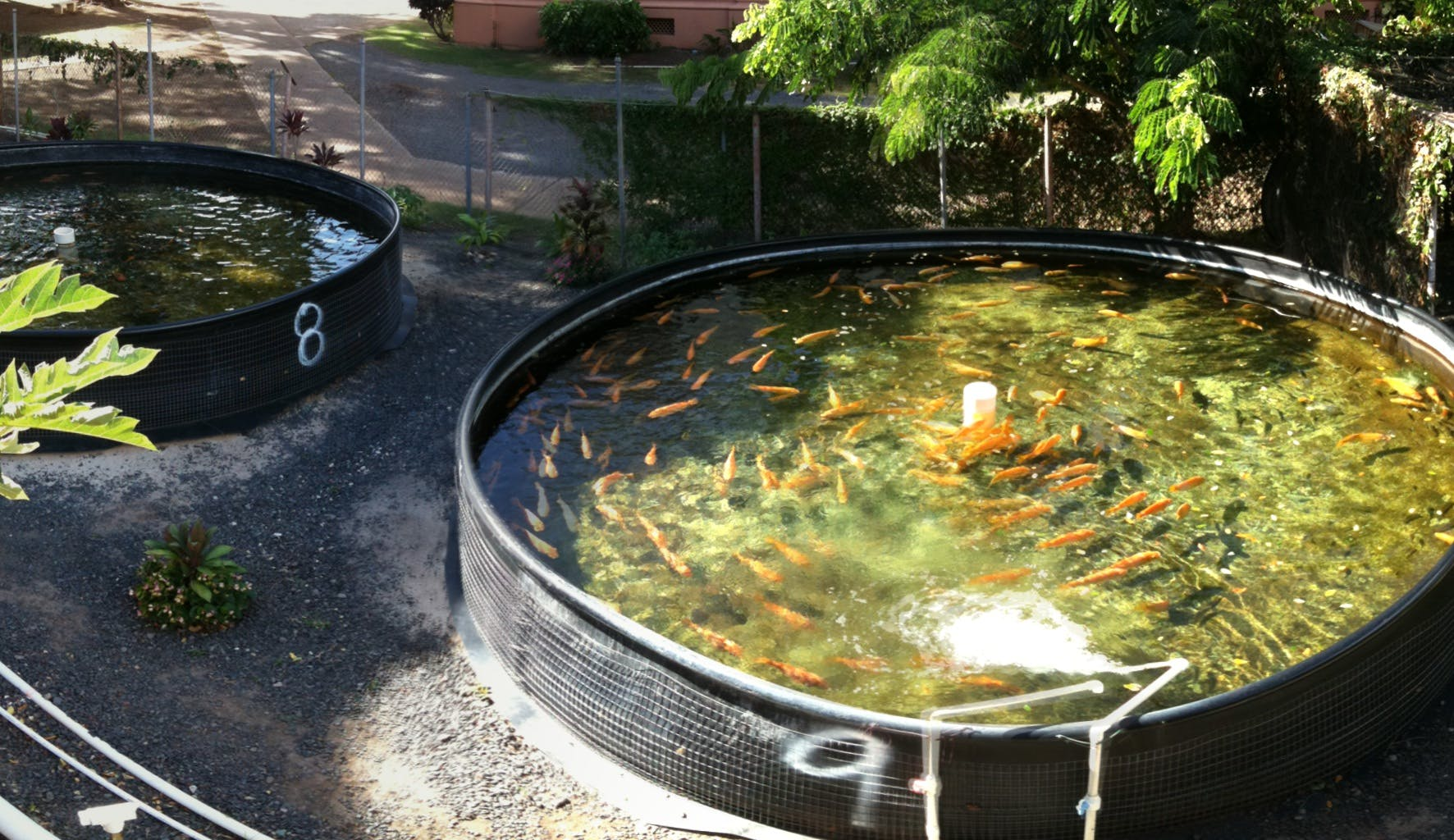 Tilapia are swimming in a small, cylindrical plastic tank.