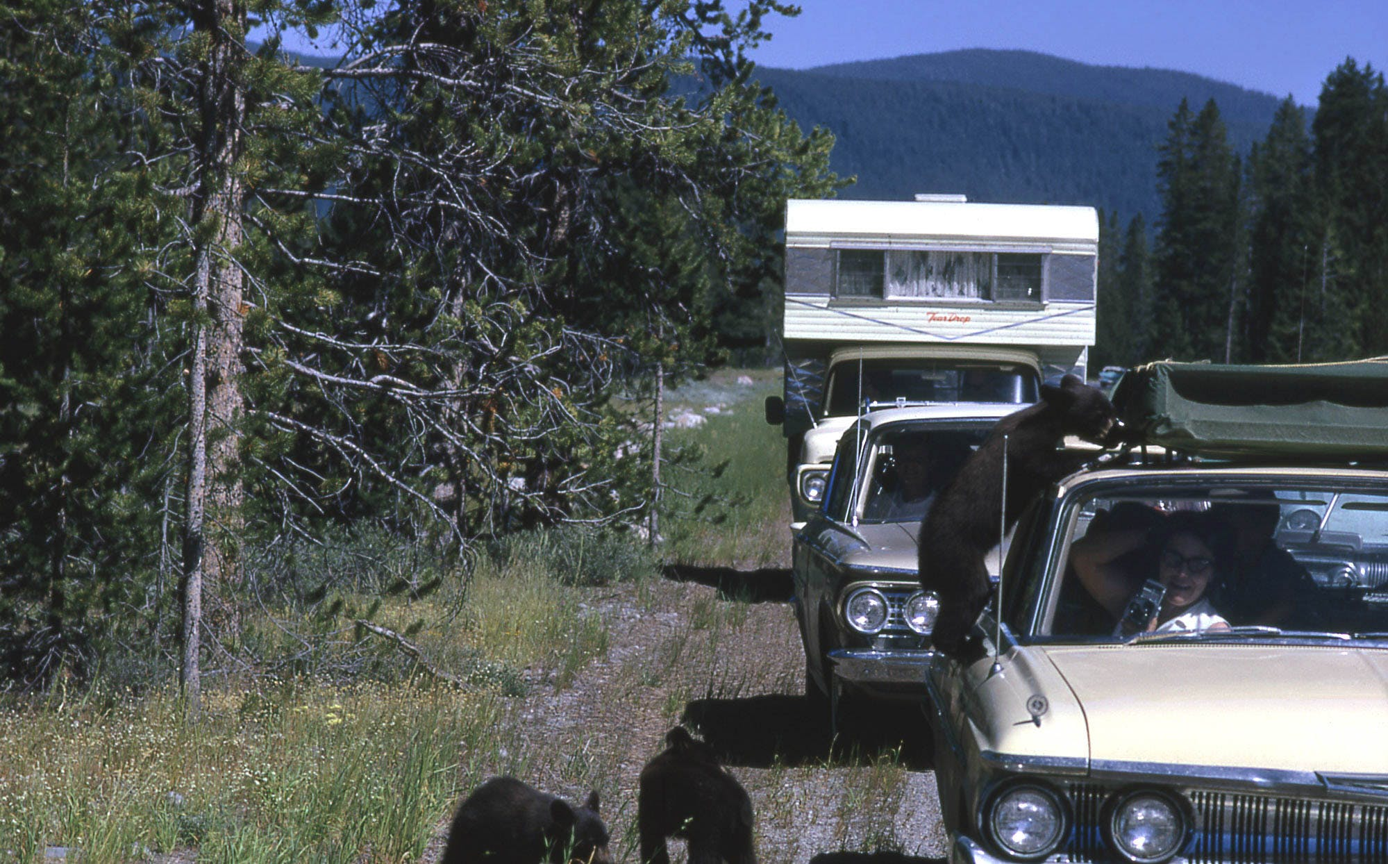 Three black bear cubs by cars, one is climbing on a car.