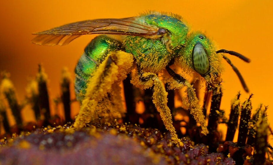 Iridescent green sweat bee, called because it is known to be attracted to sweat