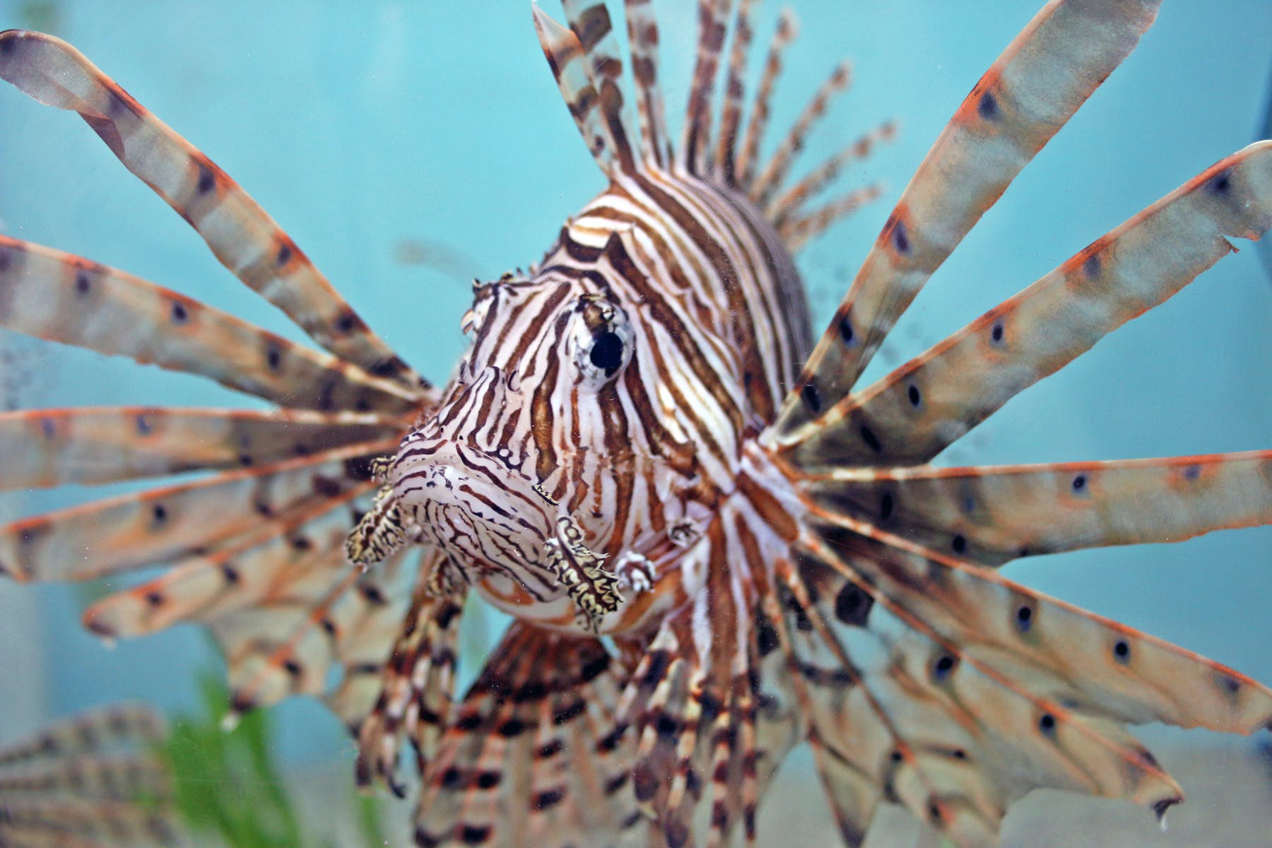 A lionfish with it's fins fanned out and spines visible