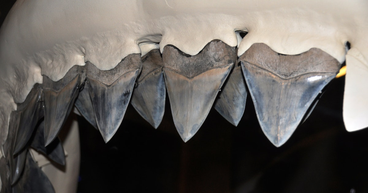 Even megalodon babies needed nurseries to survive