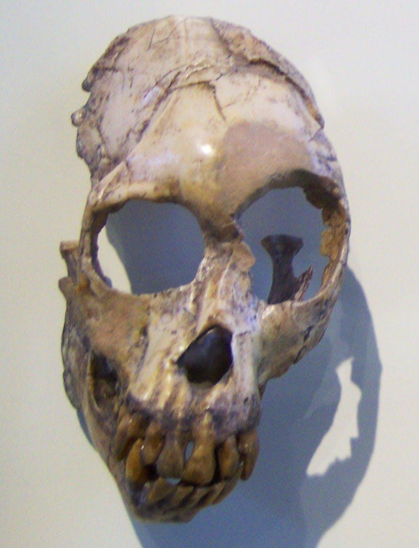 mammal skull missing part of the sides