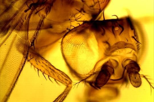 A close up photo of a fruit fly, Dropophila melanogaster