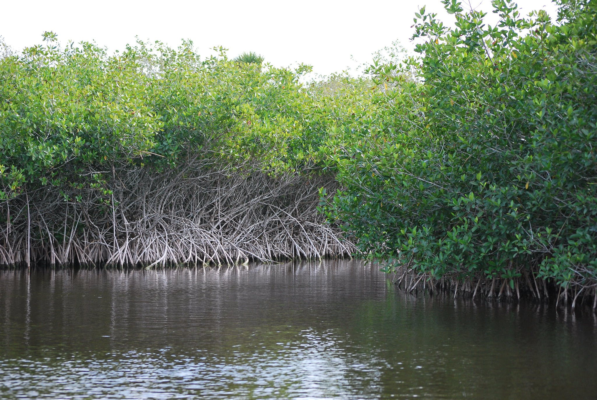 A mangrove forest in the Everglades.