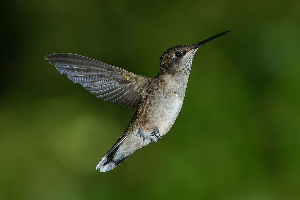 A male ruby-throated Hummingbird