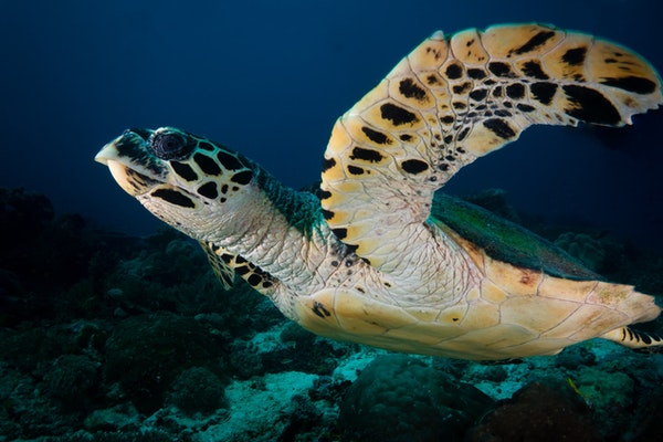 a close up of a sea turtle with a sharp curved beak, underwater