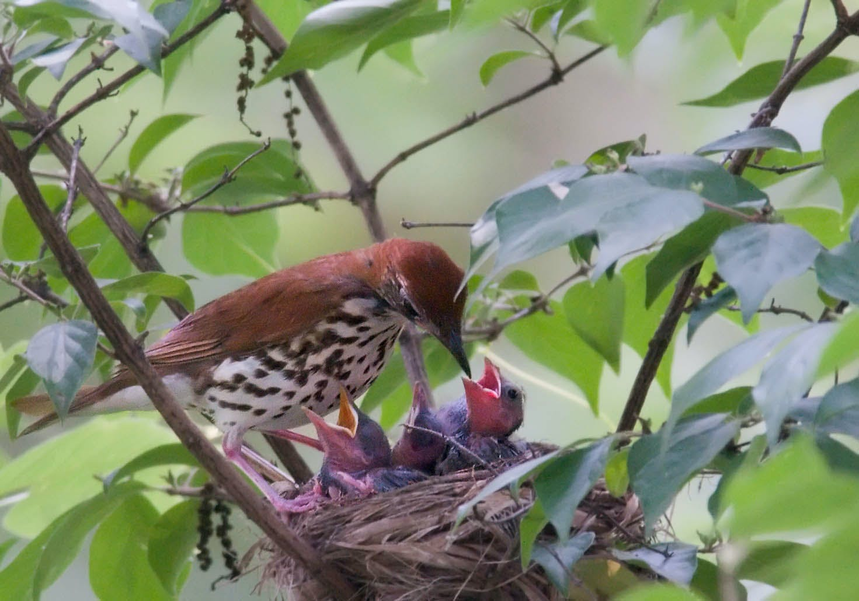 A wood thrush feeding cuckoo chicks parasitizing its nest