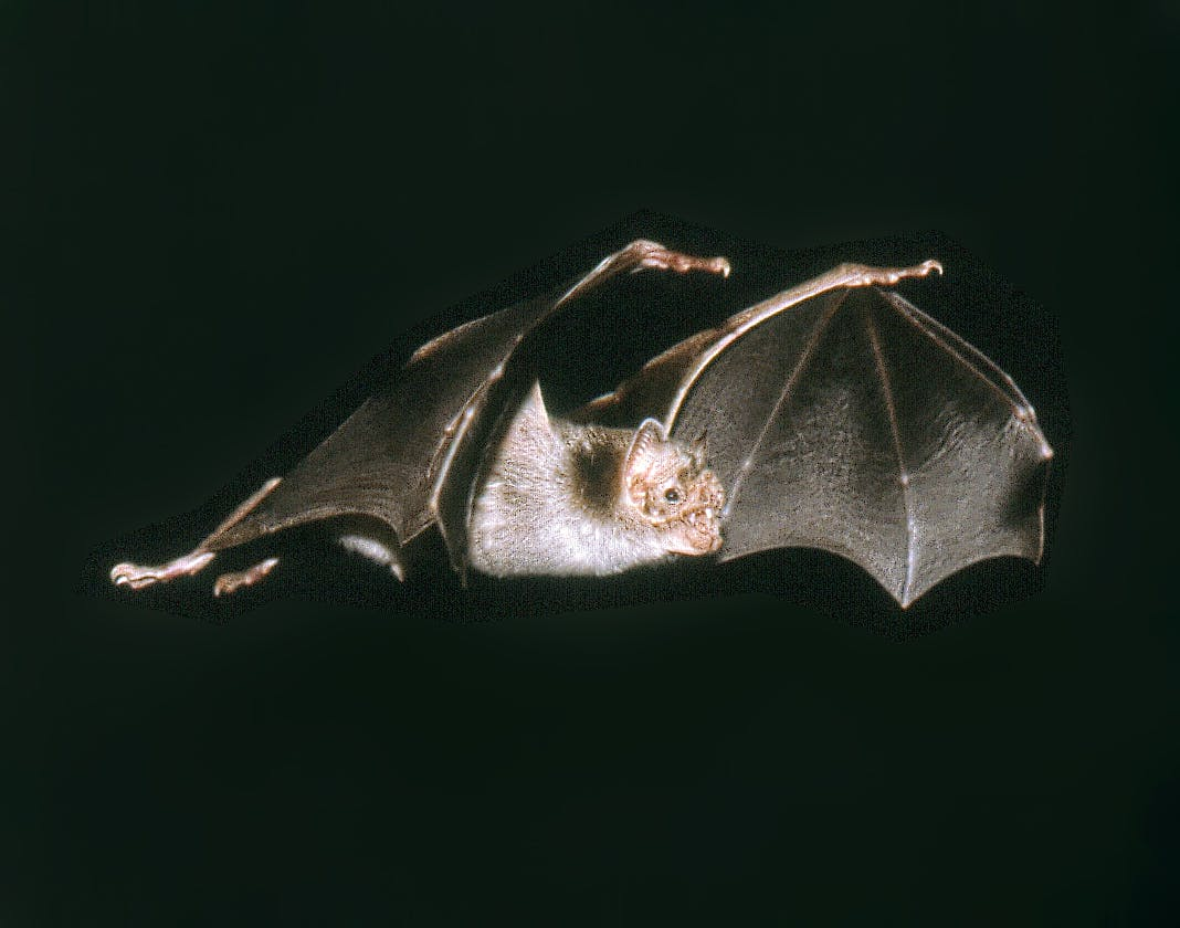 vampire bat flying, wings can be seen
