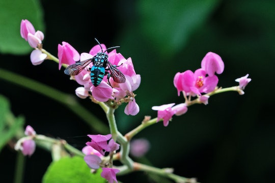 a bright blue and black bee resting on a pink flower