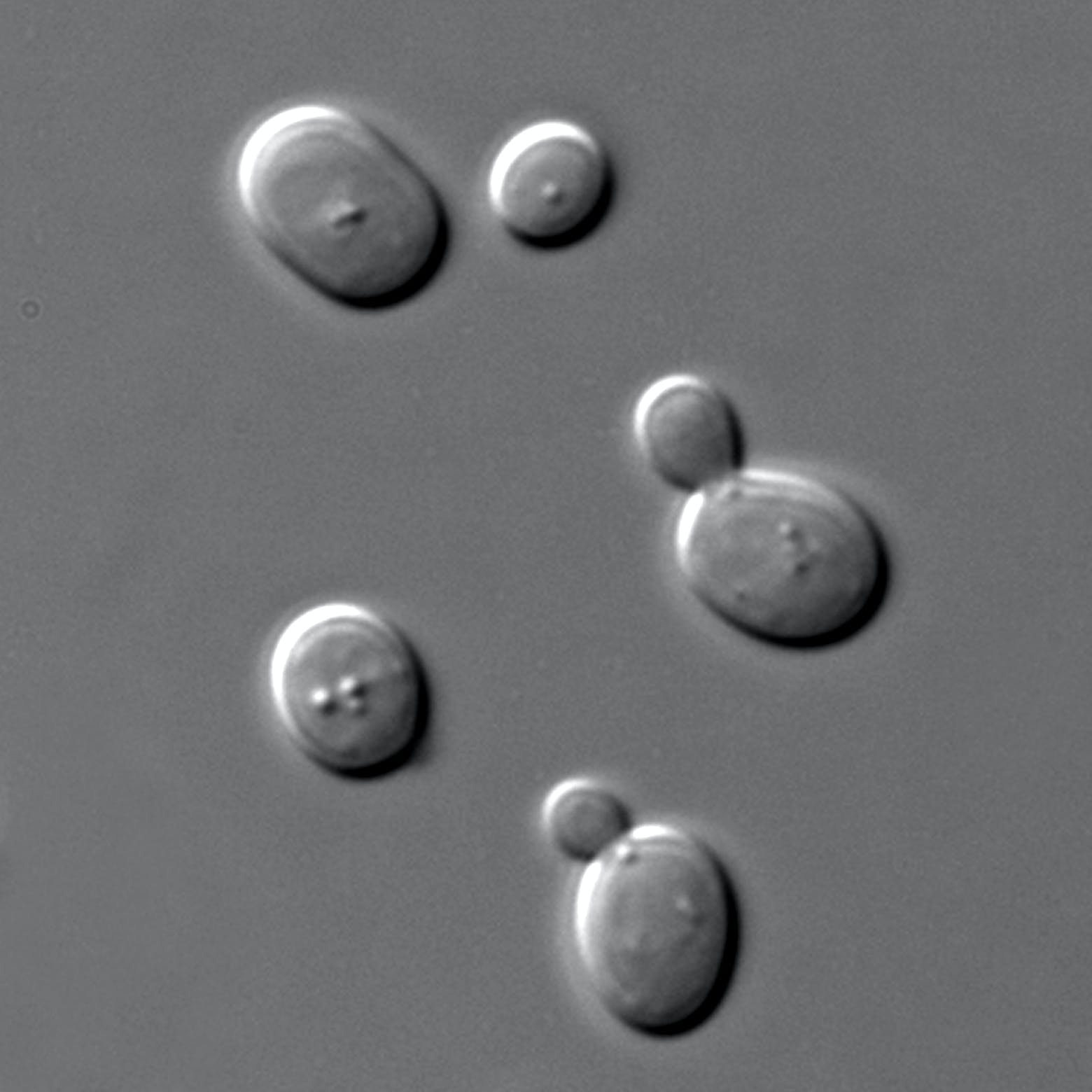 Single celled yeast seen under a microscope.