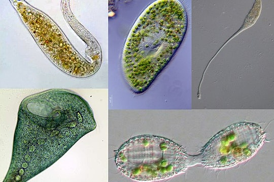 a collage showing five different eukaryotes with tiny cilia
