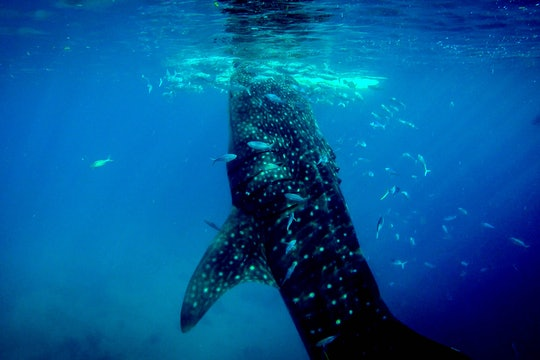 whale shark at the surface of the water with smaller fish all around