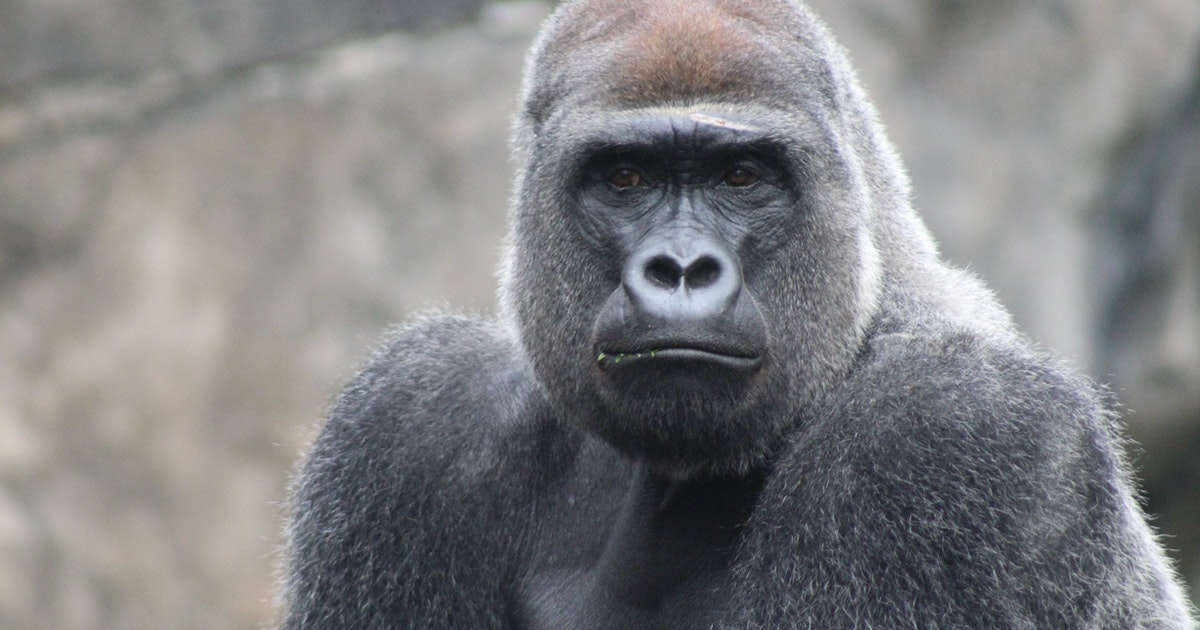 Unexpected gorilla snacking behaviors make scientists question what we know about early humans