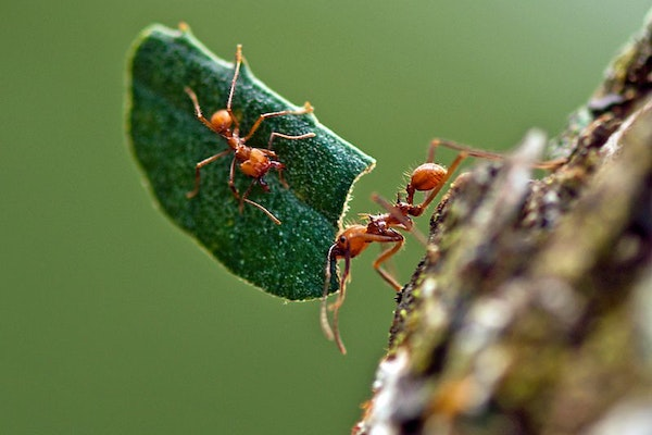 a leafcutter ant carrying a piece of leaf with another ant holding on for a ride