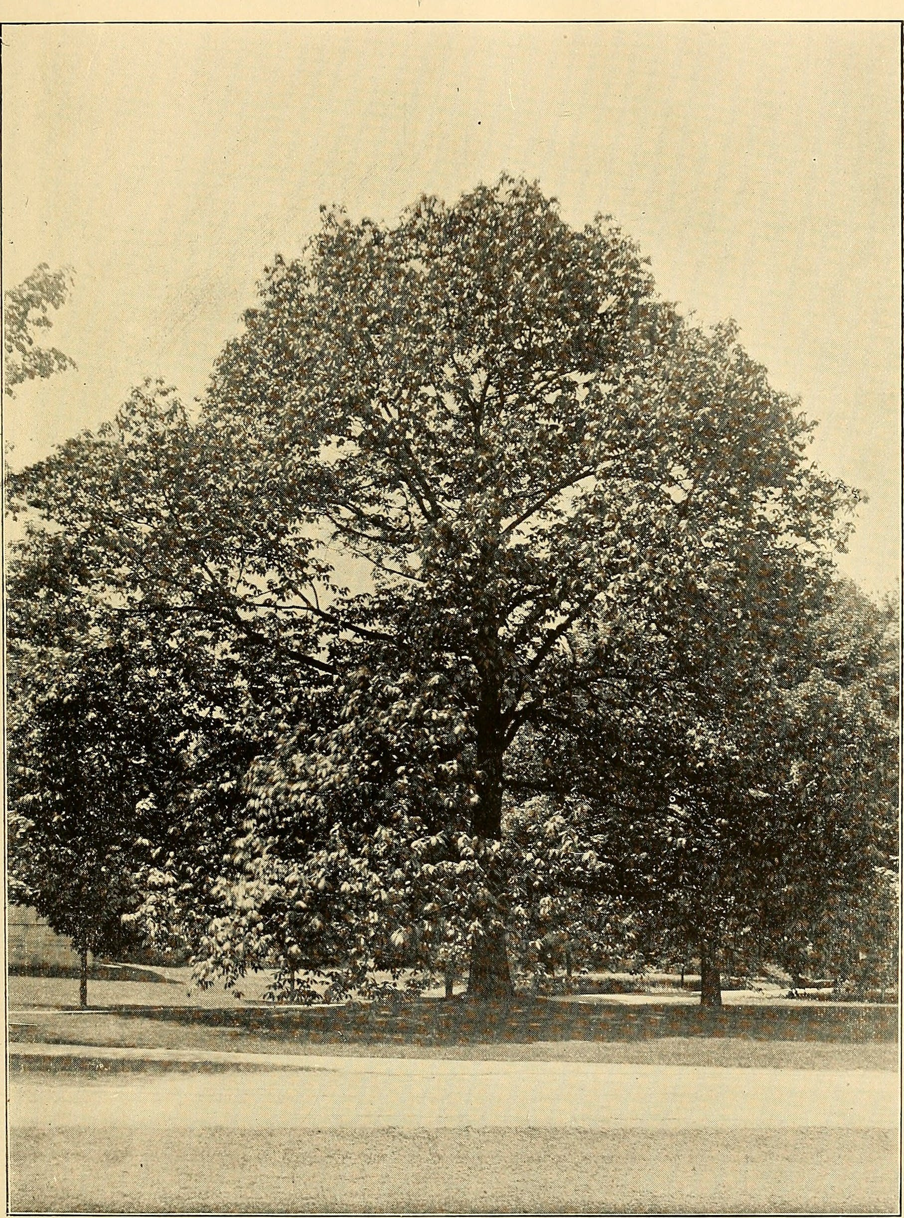 An American chestnut on the grounds of Vassar College, 1909