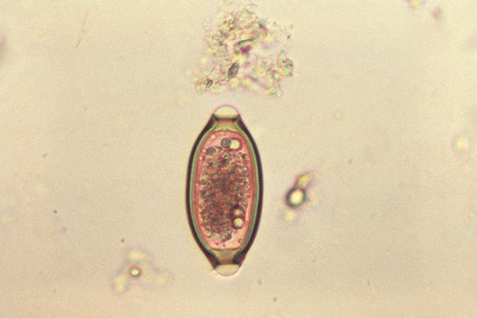 microscope photo of an oblong parasite