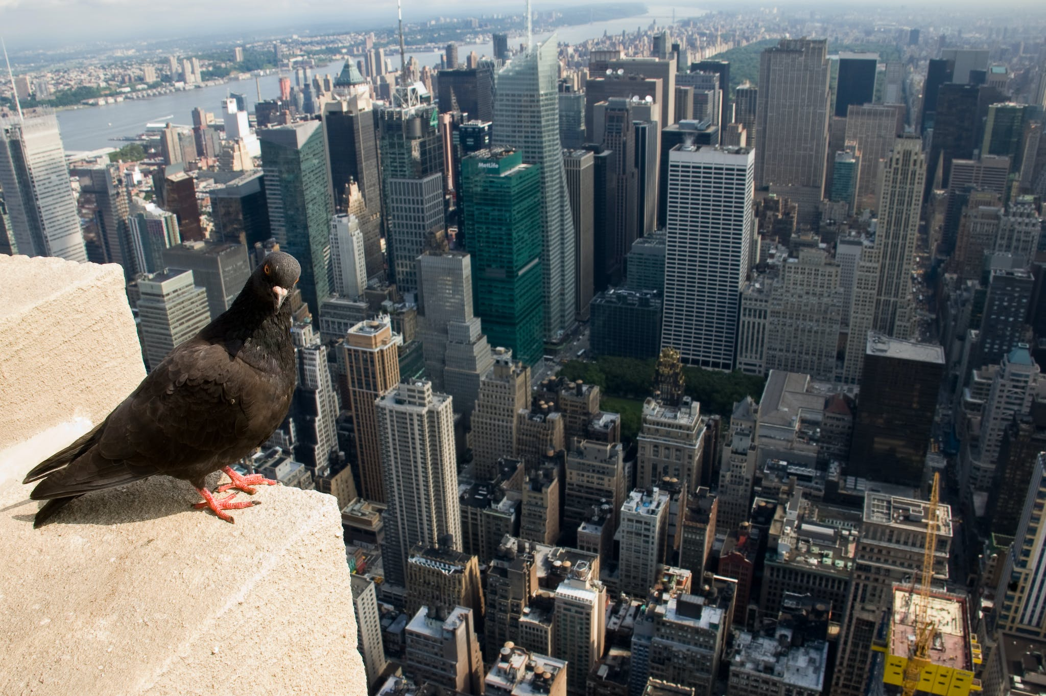 A pigeon overlooks the skyscrapers of New York City