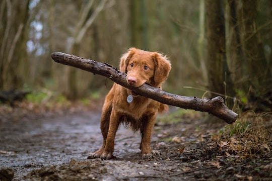 a golden retriever with a huge stick in its mouth